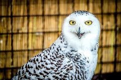 一头猫头鹰的画象与开放额嘴的 免版税库存图片