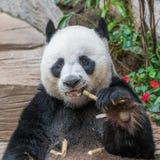 一头男性大熊猫熊享用他的早餐 库存照片