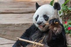 一头男性大熊猫熊享用他的早餐 库存图片