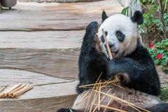 一头男性大熊猫熊享用他的早餐 免版税库存照片