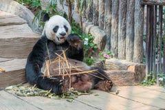 一头男性大熊猫熊享用他的早餐 图库摄影