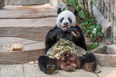 一头男性大熊猫熊享用他的早餐 免版税库存图片
