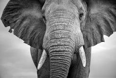 一头男性大象的特写镜头与耳朵的延伸了 免版税库存照片