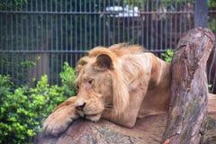 一头病的狮子和饿的狮子在动物园里 免版税库存照片