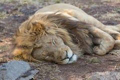 一头白色狮子在南非 免版税图库摄影