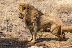 一头白色狮子在南非 库存图片