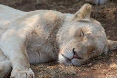 一头白色狮子在南非 图库摄影