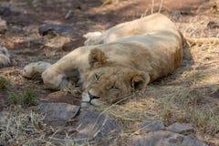 一头白色狮子 免版税库存照片