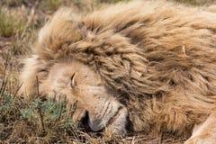 一头白色狮子 免版税库存图片