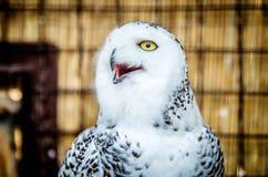 一头白色猫头鹰的画象与开放额嘴的,看对边 库存照片