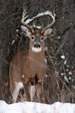 一头白被盯梢的鹿在冬天雪顽抗在加拿大 免版税库存图片