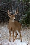 一头白被盯梢的鹿在加拿大顽抗在一个领域的身分在冬天雪 库存照片