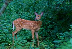 一头白被盯梢的鹿在森林里讨好空齿鹿属virginianus在加拿大 免版税库存图片
