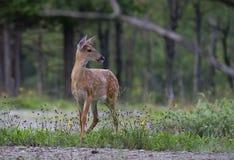 一头白被盯梢的鹿在森林里讨好空齿鹿属virginianus在加拿大 库存图片