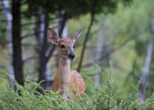 一头白被盯梢的鹿在森林里讨好空齿鹿属virginianus在加拿大 免版税库存照片