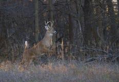 一头白被盯梢的鹿在森林里顽抗跳通过空气在一只母鹿以后在车轮痕迹期间 免版税图库摄影