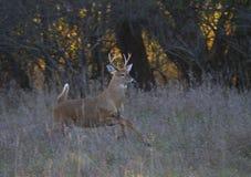 一头白被盯梢的鹿在森林里顽抗跳通过空气在一只母鹿以后在车轮痕迹期间 免版税库存图片
