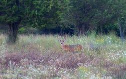 一头白被盯梢的鹿顽抗与天鹅绒鹿角在森林里 免版税库存图片