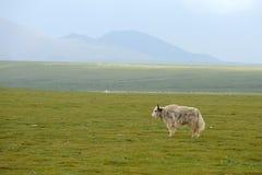 一头空白牦牛 免版税库存图片