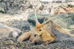 一头美丽的垫铁鹿坐地面 免版税库存照片