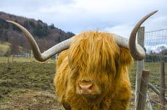 一头美丽的橙色头发的高地母牛 免版税库存照片