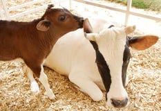 一头美丽的Holstein母牛的特写镜头与她的小牛的 库存图片