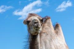 一头苍白棕色骆驼的特写镜头反对清楚的蓝天的 免版税库存照片