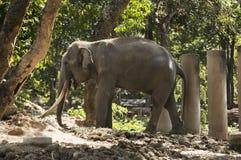 一头被驯化的大象在泰国公园吃在一个晴天 免版税库存图片