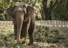 一头被驯化的大象在泰国公园吃在一个晴天 图库摄影