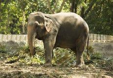一头被驯化的大象在泰国公园吃 免版税库存照片