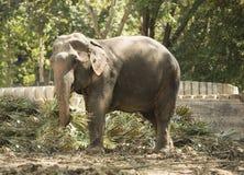 一头被驯化的大象在泰国公园吃 免版税图库摄影