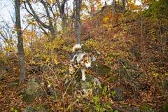 一头被驯化的狼通过森林,美好的野兽奔跑走本质上 图库摄影