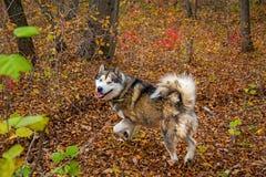 一头被驯化的狼通过森林,美好的野兽奔跑走本质上 免版税图库摄影