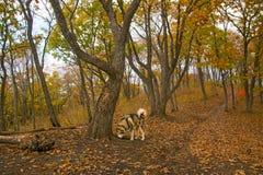 一头被驯化的狼通过森林,美好的野兽奔跑走本质上 免版税库存照片