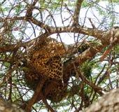 一头豹子的特写镜头在树的高分支的 免版税库存图片