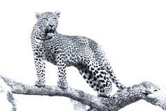 一头豹子的艺术性的转换在大树的与厚实的分支 免版税库存图片