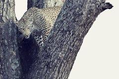 一头豹子的艺术性的转换在大树的与厚实的分支 库存图片