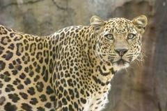 一头豹子 免版税库存照片