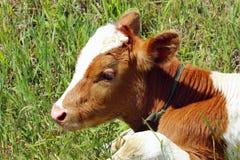 一头逗人喜爱的小牛的播种的射击 母牛的立方体 图库摄影