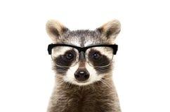 一头逗人喜爱的滑稽的浣熊佩带的玻璃的画象 库存照片