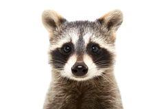 一头逗人喜爱的滑稽的浣熊的画象 免版税库存图片