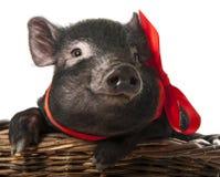一头逗人喜爱的矮小的黑色猪 库存图片