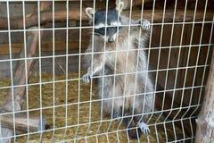 一头逗人喜爱,灰色,镶边浣熊请求食物通过铁栅栏在动物园里 库存照片