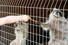 一头逗人喜爱,灰色,镶边浣熊请求食物通过铁栅栏在动物园里 库存图片