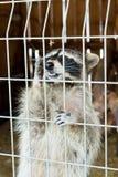 一头逗人喜爱,灰色,镶边浣熊请求食物通过铁栅栏在动物园里 免版税库存图片