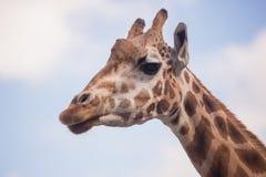 一头长颈鹿的头反对蓝天的 库存图片