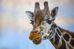 一头长颈鹿的头反对蓝色背景的 免版税库存图片