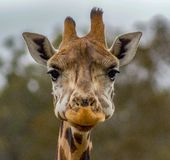 一头长颈鹿的头在动物园里 免版税库存图片
