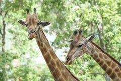 一头长颈鹿的画象与长的脖子和滑稽的头的 库存图片