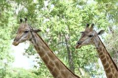 一头长颈鹿的画象与长的脖子和滑稽的头的 免版税库存照片